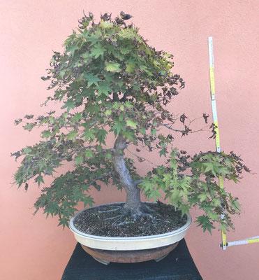 B4 - Acero palmato - h.75
