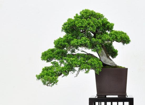 Juniperus chinensis - Adriano Nalon