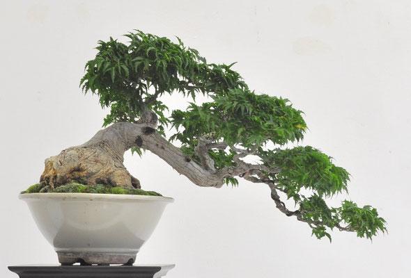Acero palmato v. shishigashira - Daniel Panfiglio