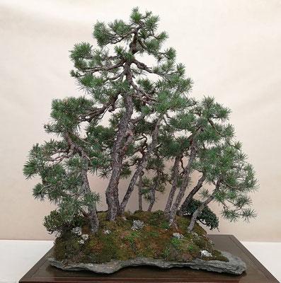 Bosco di pini silvestri di Raffaele Rignanese - Yokohama Cup (distinguished evergreen), Crespi Cup 2017