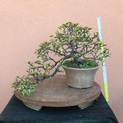 B30  - Azalea semicascata h.33