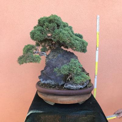 B2 - Ginepro chinensis su roccia - h.50