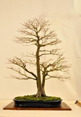 Acero palmato giapponese di Andrea Carrara Bonsai Club Somma