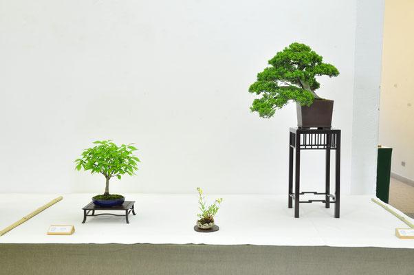 zelkova serrata e juniperus chinensis - Adriano Nalon