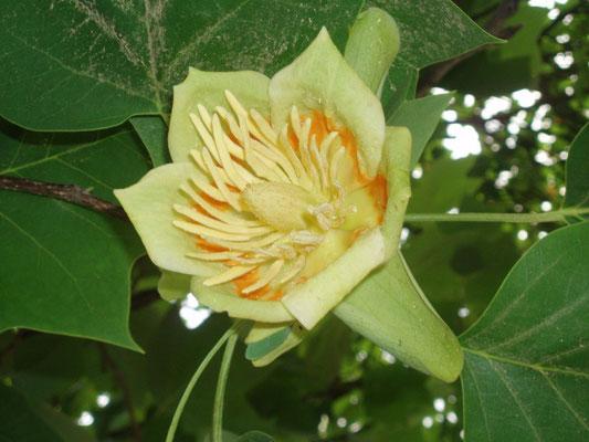 Il fiore dell'Albero dei tulipani (Liriodendron tulipifera)