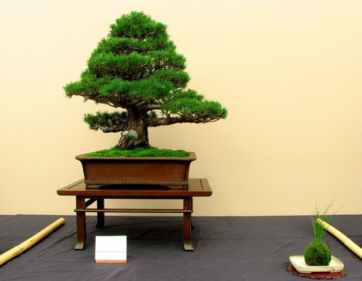 Pino pentaphilla - Oltre il Verde Bonsai Competition 2013