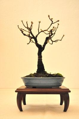 Prunus di Giovanni Bonsignori
