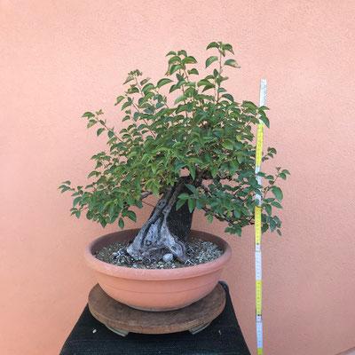 B7 - Prunus malheb - h.55 - venduto