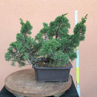 B42 - Ginepro h. 35 - venduto