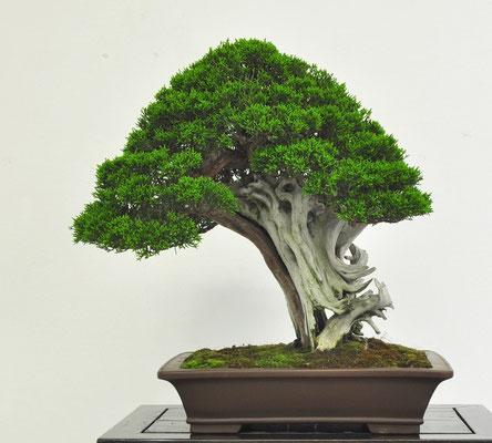 Juniperus chinensis - Mauro Brocchieri