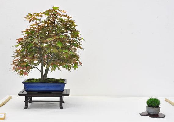 Acero palmato giapponese - Antonio Tedesco