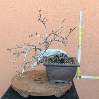 B35 - Scotano (albero della nebbia) h.40 - venduto