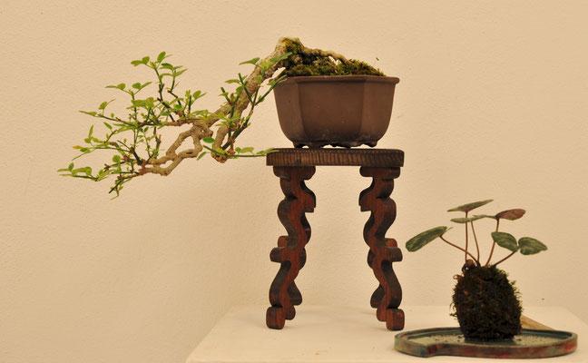 Gelsomino (Jasminum nudiflorum) di Andrea Oldrini
