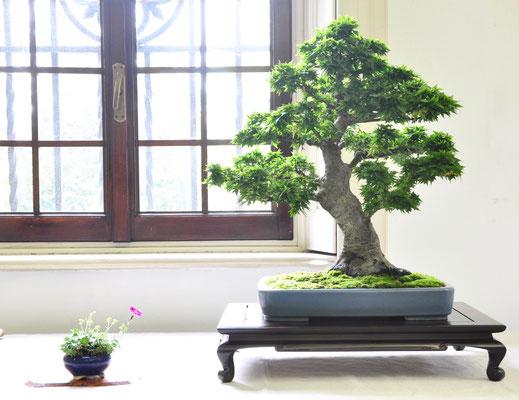 Acero palmato v. shishigashira - Giovanni Bonsignori