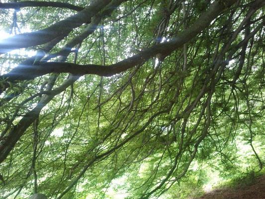 Sotto le fronde di un faggio sylvatica 'Asplenifolia' spettacolare