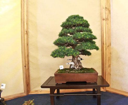 Il pino pentaphilla di Antonio Tedesco presentato in rappresentanza del club