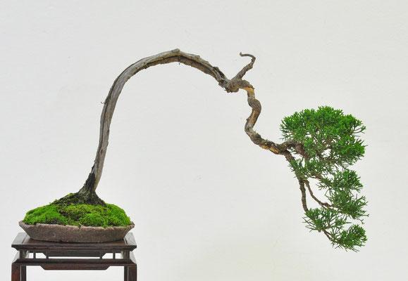 Juniperus chinensis - Piero Cantù