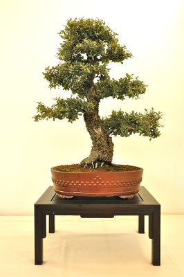 Quercus suber di Biagio Cerati