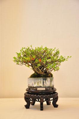 Chaenomeles japonica 'Chochubai' di Gianpaolo Scoglio