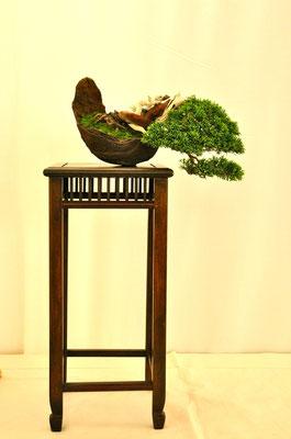 Juniperus chinensis v. Itoigawa di Giuseppe Ceratti