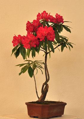 Rododendro di Franco Bergamini