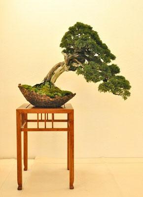 Juniperus chinensis di Giovanni Bonsignori