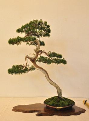 Juniperus chinensis di Adriano Nalon