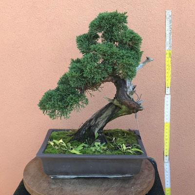 B22 - Ginepro chinensis h.40 - venduto