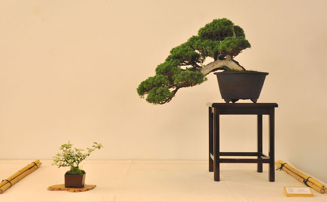 Ginepro chinensis di Enrico Colli