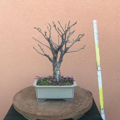 B29 Prunus mume h.30