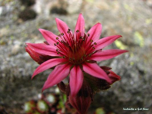 joubarbe a grande fleur