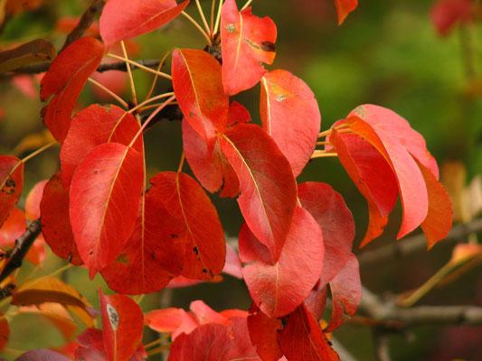 feuilles de poirier sauvage