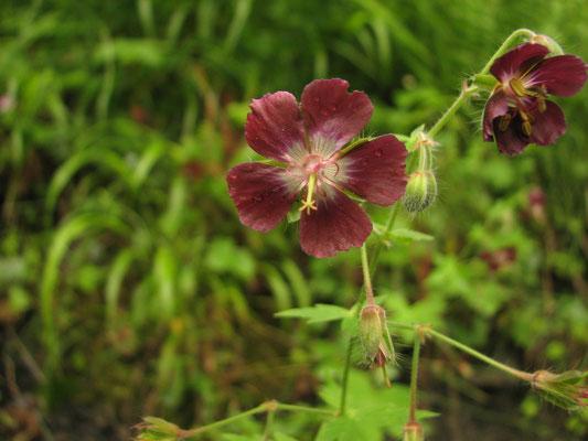 geranium brun