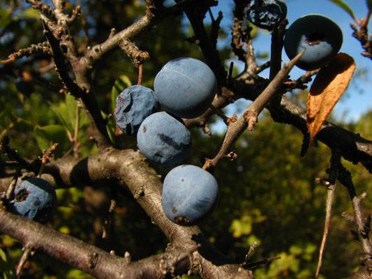 fruits du prunelier