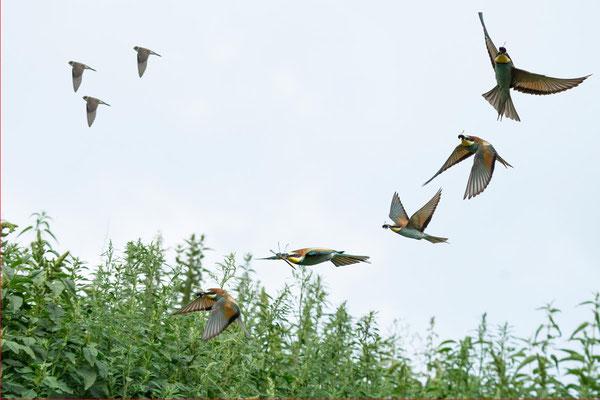 Bienenfresser Flugstudie