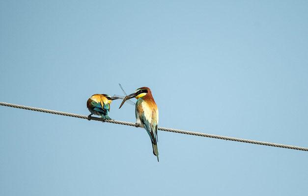 Männchen bietet dem Weibchen Futter an