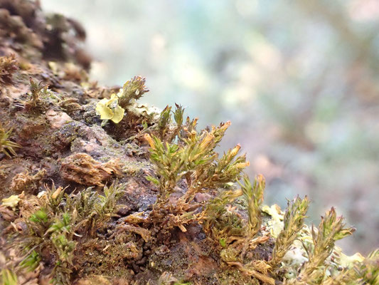 Moose und Flechten leben von den Nährstoffen aus der Luft und sind daher Zeigerpflanzen für Luftqualität: Foto Norbert Ephan