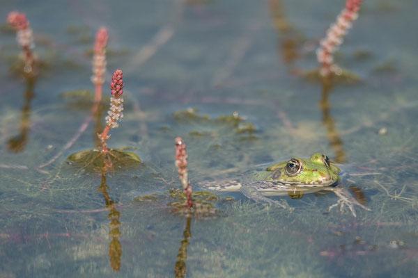 Wasserfrosch im Tausendblatt