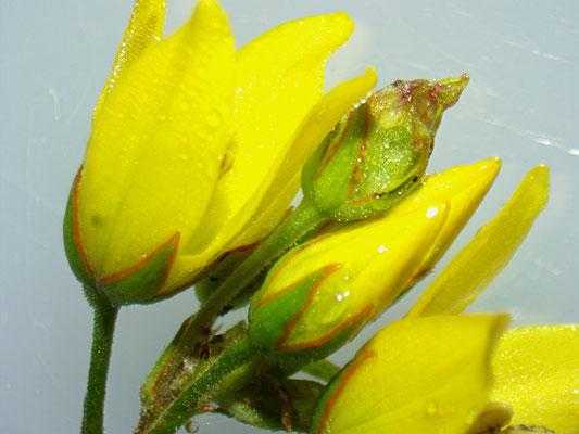 Den Gewöhnlichen Gelbweiderich (Lysimachia vulgaris) erkennt man am roten Rand der Kelchblätter.