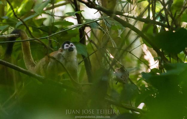 Mono ardilla (Saimiri oerstedii)