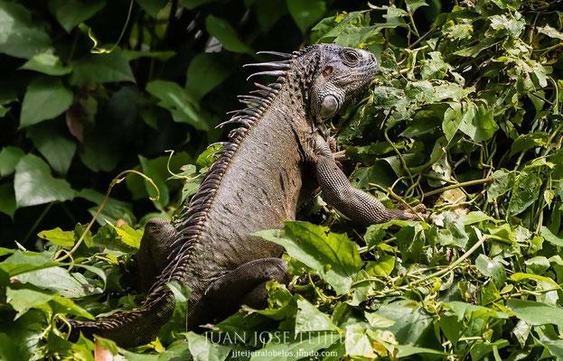 Iguana común o iguana verde (Iguana iguana).