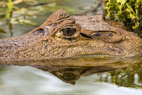 La mirada del caimán...