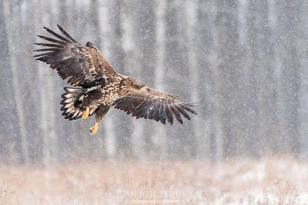 Pigargo joven en vuelo.