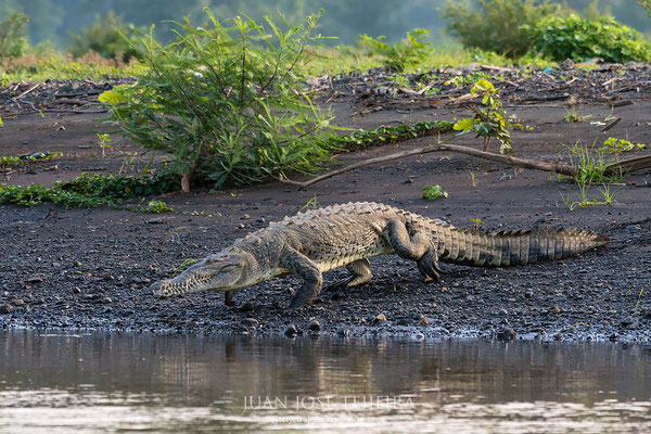 Cocodrilo americano (Crocodylus acutus)