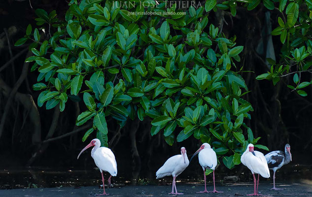 Ibis blanco (Eudocimus albus)
