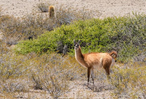 Guanaco (del quechua wanaku) (Lama guanicoe), parque nacional Los Cardones, Salta.