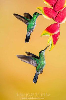 Pareja de hembras de colibrí brillante coroniverde (Heliodoxa jacula).