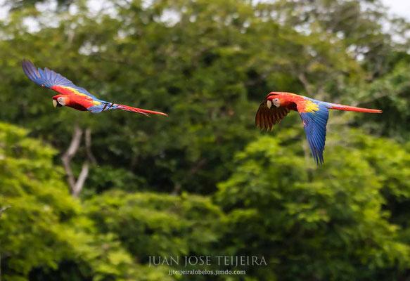 Lapas rojas volando en un claro del bosque.