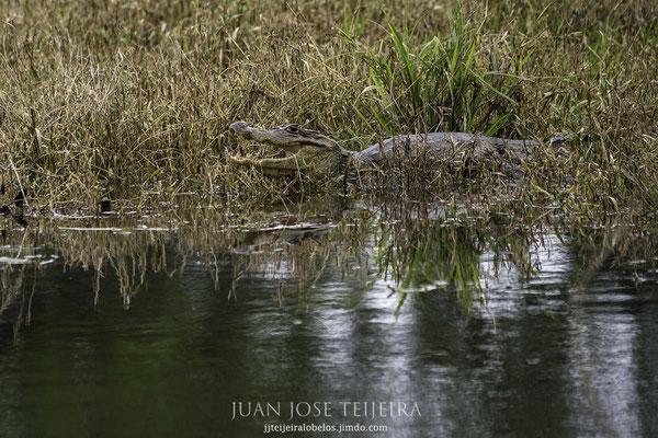 Caimán (Caiman crocodilus) en la orilla de una charca.
