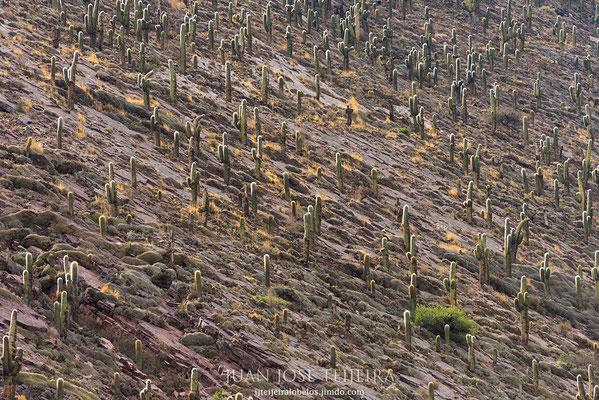 Bosque de echinopsis atacamensis, llamado comúnmente cardón de la puna.